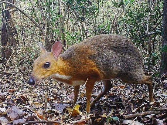 Популяцию оленей размером с кошку, считавшихся вымершими, нашли во Вьетнаме