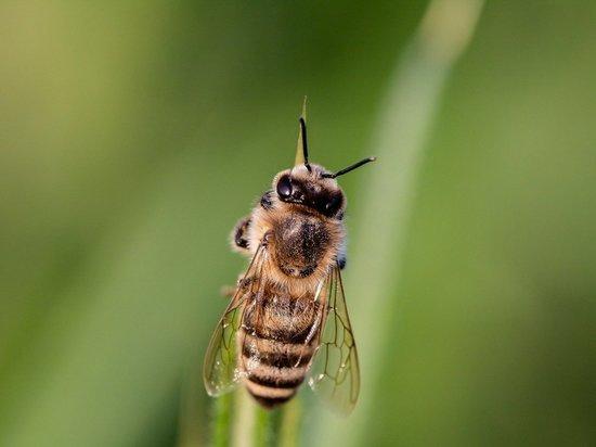 Линии электропередач делают пчел глупее и злее