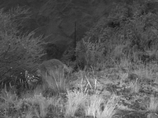 Пушистый редкий манул попался в фотоловушку заповедника на юге края
