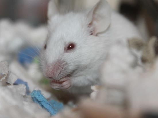 Пересадка кала пожилых мышей улучшила мозг молодых