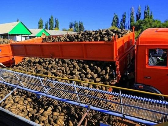 Сахарной свеклы на Кубани собрали более 10,4 млн тонн