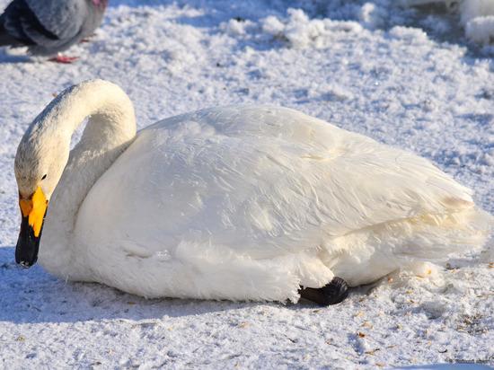 Лебеди прилетели в поселок под Бийском