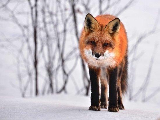 Нашествие лис в ЯНАО: как отличить бешеное животное от здорового