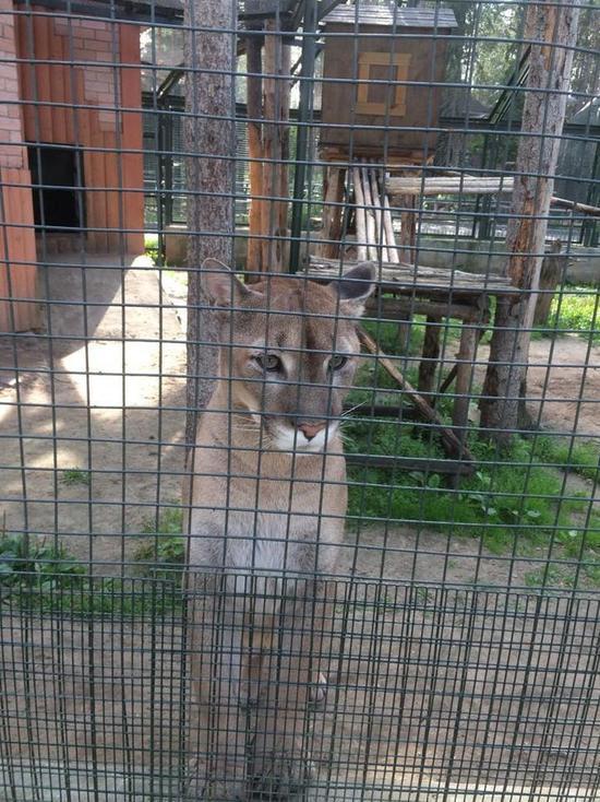 Вологжане выкупили у ресторатора из Архангельской области пуму Томаса и подарили зоопарку в Великом Устюге