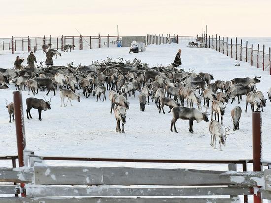 Глава ЯНАО оценил ход заготовки оленины в Ямальском районе