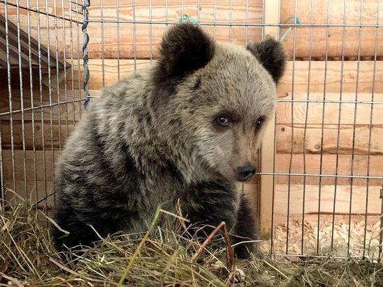 Медвежонок пролез в узкую щель клетки и сбежал от зоозащитников