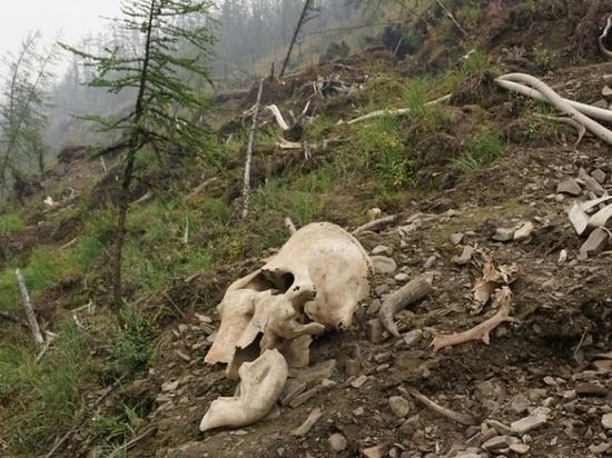 Томский ученый хочет спасти уникальное кладбище мамонтов в Якутии
