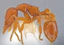 Муравьев нового вида, который всегда обитал под землей, но, видимо, в связи с изменившимися условиями решил перебраться на поверхность, нашел в Солт-Лейк-Сити (США, штат Юта) энтомолог Джек Лонгино