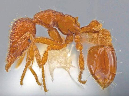 """Американец открыл новый вид муравьев - прозрачных """"гномов"""""""