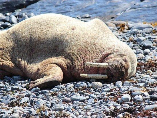 Названа причина появления большого количества моржей на Ямале
