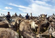Поправки в закон о защите лесов не коснутся оленеводов ЯНАО