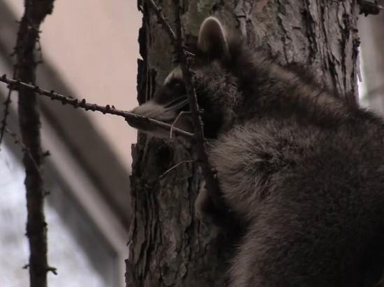 В Калининском районе спасли залезшего на дерево енота Олесю