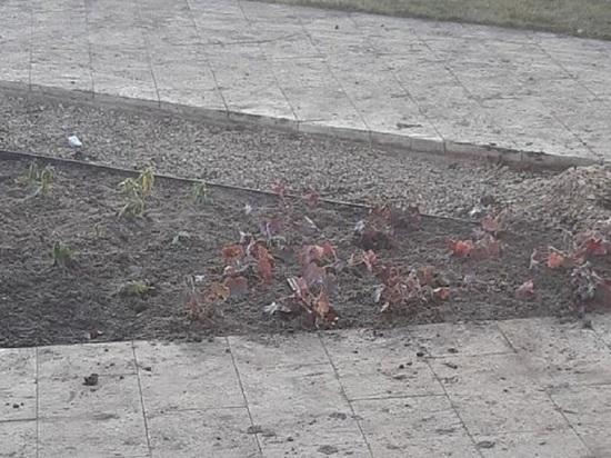В Ростове Великом цветы посадили в промороженную землю