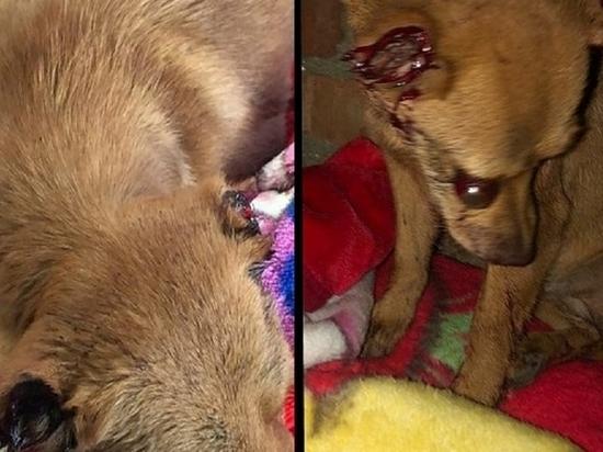 В Северной Осетии задержан изувечивший бездомную собаку живодер