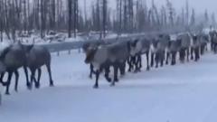 Огромное стадо оленей попало на видео на трассе в ЯНАО
