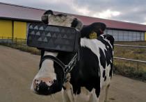Необычный способ повышения надоев у бурёнок нашли подмосковные фермеры