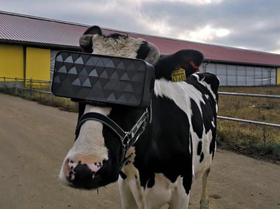 Подмосковным коровам примерили очки виртуальной реальности