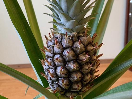 В московском районе Жулебино выросли ананасы: «Решил посадить кочерыжку»