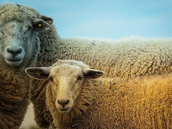 Владимир Путин выделил Дамбе Аюшееву 33 миллиона рублей на переработку овечьей шерсти