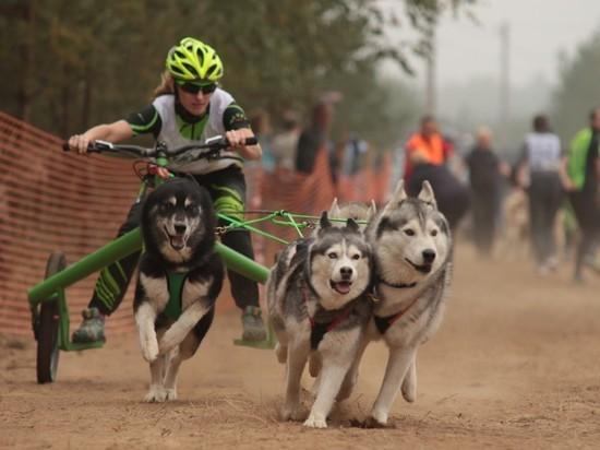 Под Рязанью вновь пройдут гонки на собачьих упряжках