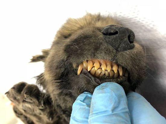 В Якутии нашли щенка, которому 18 тысяч лет