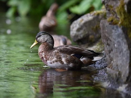 Перекормленные саратовцами утки рискуют погибнуть мучительной смертью