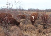 Калмыцкие коровы прижились в зоне вечной мерзлоты