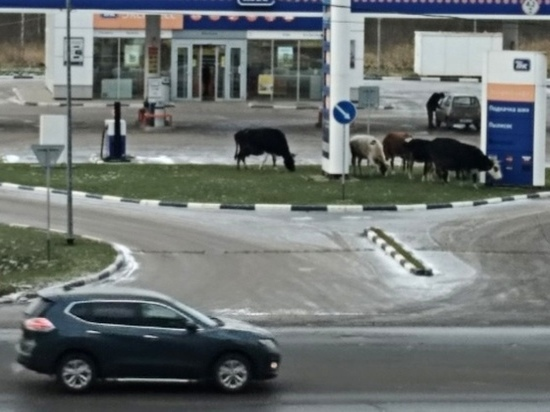 В Ярославле коровы пасутся на автозаправке