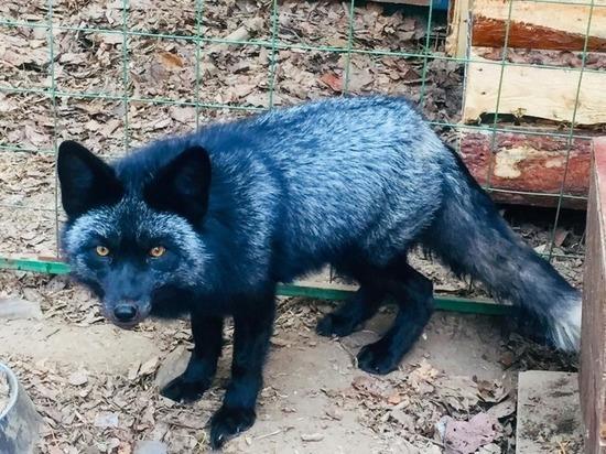 В чебоксарском зооуголке появился чернобурый лис