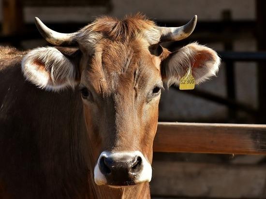 На сельхозпредприятии РТ коров оснастили «фитнес-браслетами»