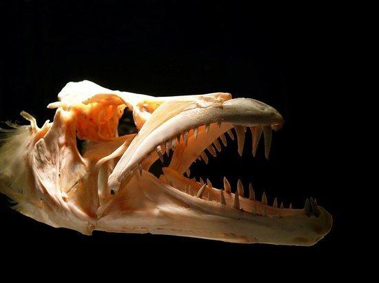 В Волгоградской области нашли останки древней рыбы-пилы