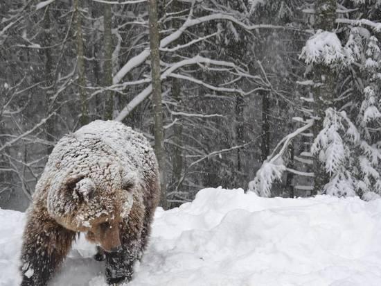 На севере Приангарья медведь-шатун загрыз мужчину