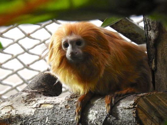 В зоопарке поселились обезьяны, похожие на львов