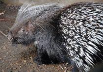 В Дагестане найден дикообраз