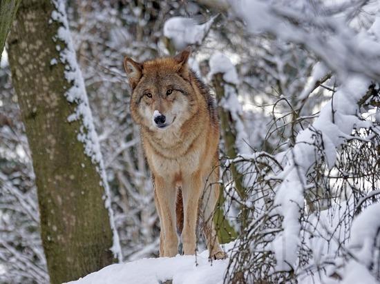 В Пуровском районе ЯНАО началась облава на опасных волкособак