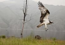 Редкая сибирская птица погибла в Индии из-за ветровых станций