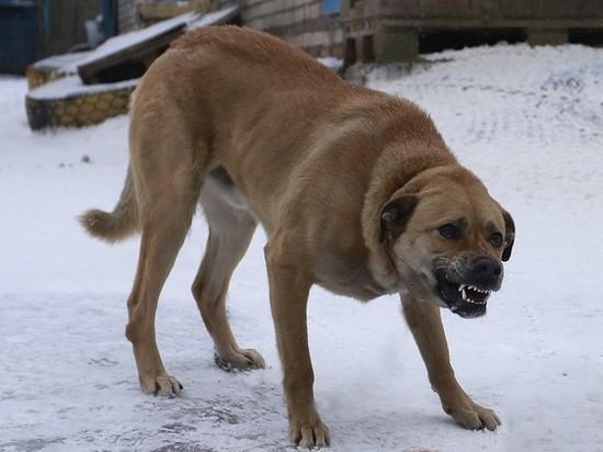 Красноярцы снова пожаловались на нападение бездомных собак