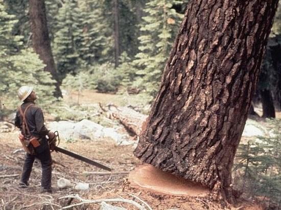 В Ивановской области «черный» лесоруб вырубили елей почти на 600 тысяч рублей