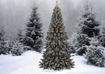 Жители Красноярского края самовольно вырубили 3,5 тыс елок к празднику