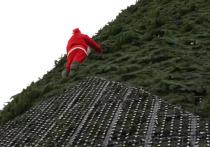 На главную елку Красноярска забрался Санта-Клаус