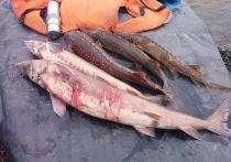 В калмыцком районе пресечена незаконная ловля осетровых
