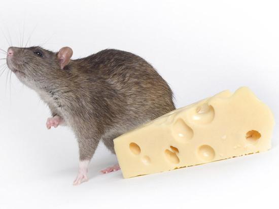 Названы самые популярные имена крыс в России и США