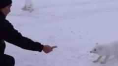 «Песцы наступают»: мужчина накормил трех зверьков в Новом Уренгое