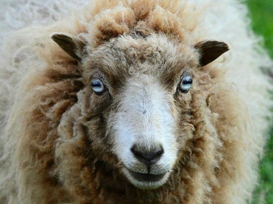 78 трупов умерших от оспы овец уничтожат в Пушкиногорском районе