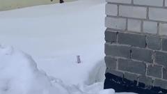 Горностай выглядывает из снега в Салехарде