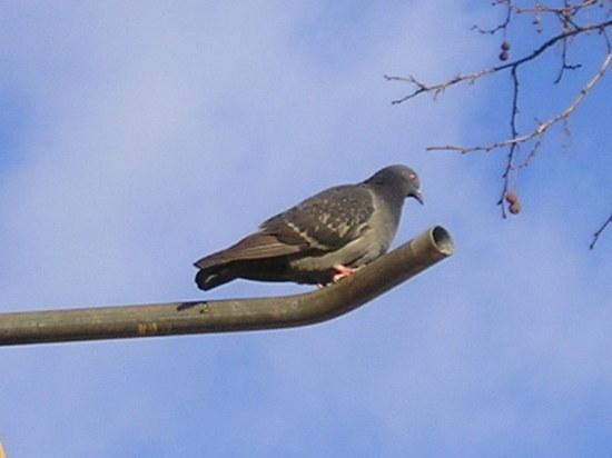 В Москве станет больше голубей, предположил орнитолог
