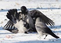 Теплый декабрь принес в Москву птичий каннибализм