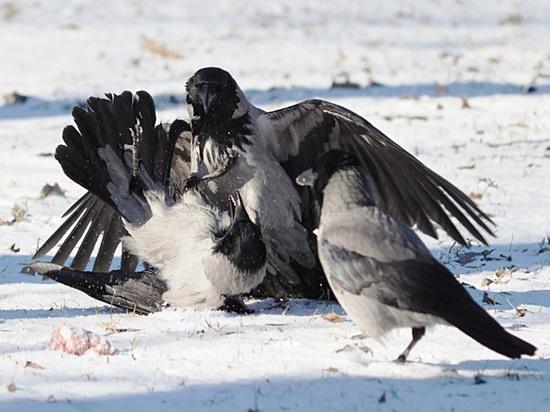 Московские пташки стали убивать друг друга из-за погоды