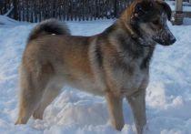 Собака пропала 26 ноября в деревне Черемичкино