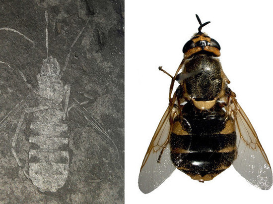 Ученые открыли новый вид мух, которые притворялись осами